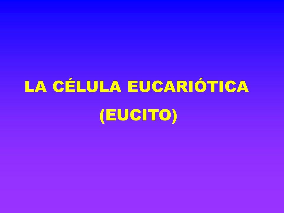 LA CÉLULA EUCARIÓTICA (EUCITO)