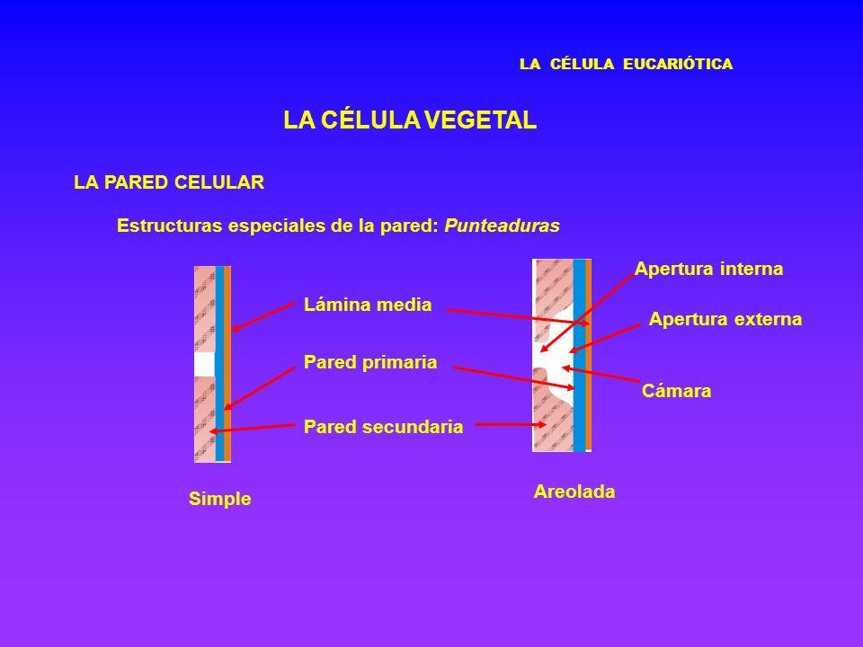 LA CÉLULA EUCARIÓTICA LA CÉLULA VEGETAL LA PARED CELULAR Estructuras especiales de la pared: Punteaduras Simple Areolada Lámina media Pared primaria P