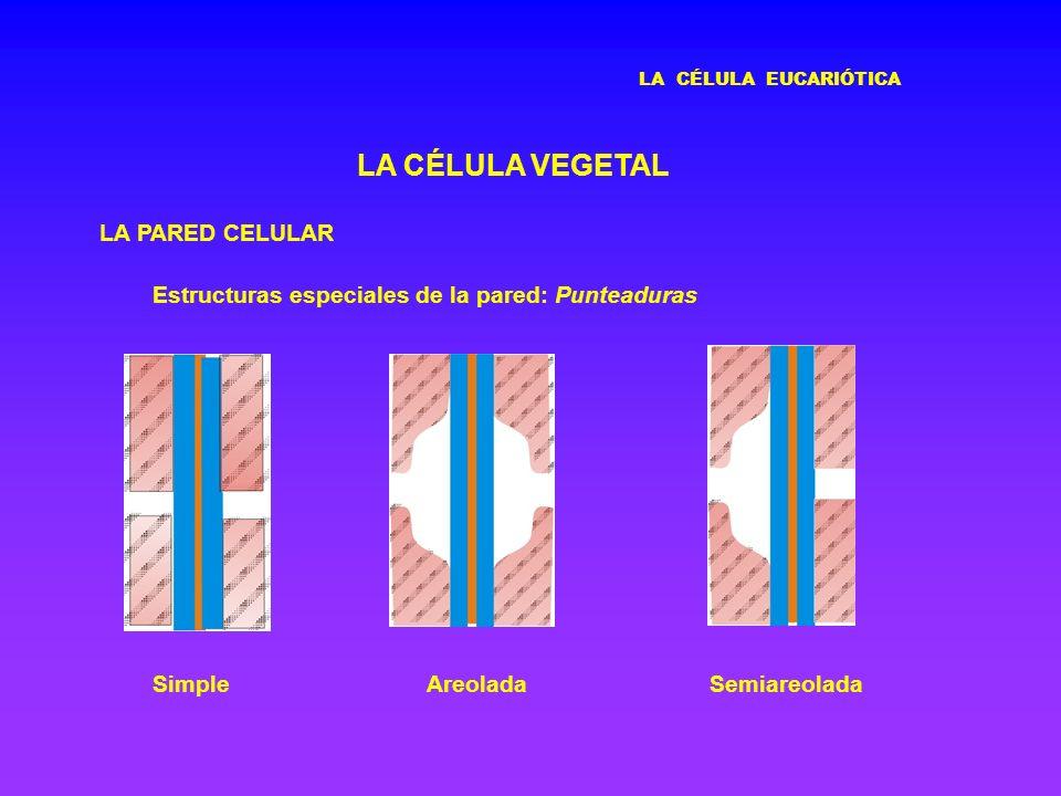 LA CÉLULA EUCARIÓTICA LA CÉLULA VEGETAL LA PARED CELULAR Estructuras especiales de la pared: Punteaduras SimpleAreoladaSemiareolada