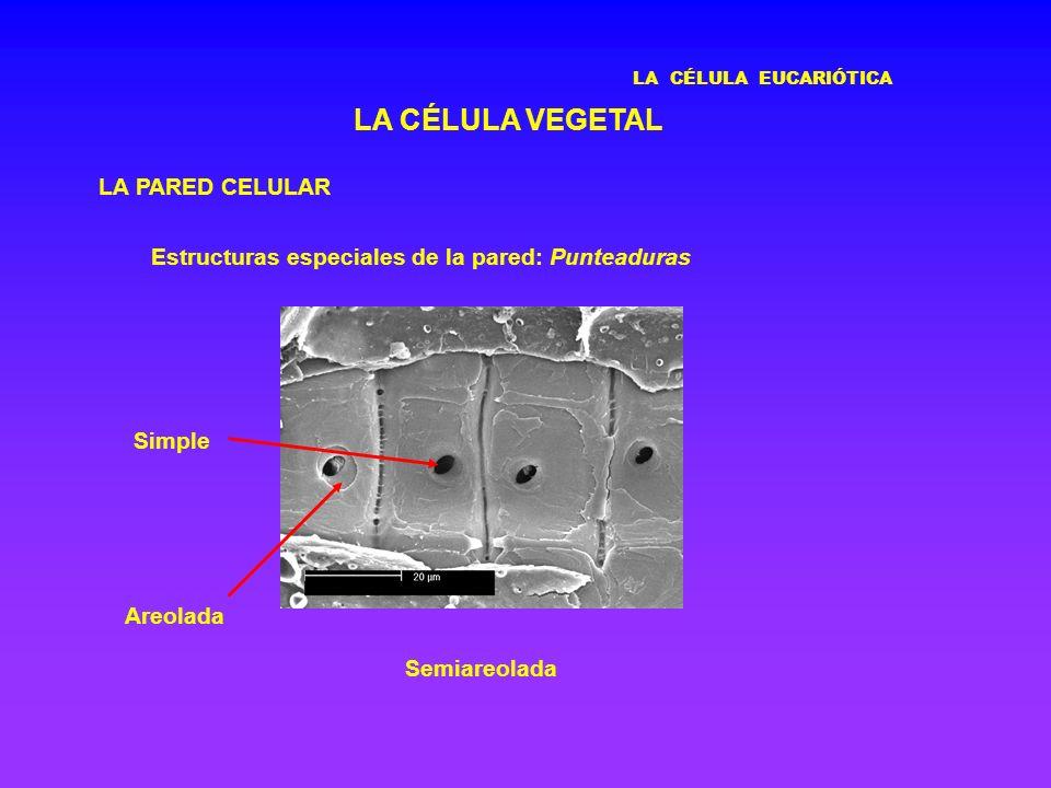 LA CÉLULA EUCARIÓTICA LA CÉLULA VEGETAL LA PARED CELULAR Estructuras especiales de la pared: Punteaduras Semiareolada Areolada Simple