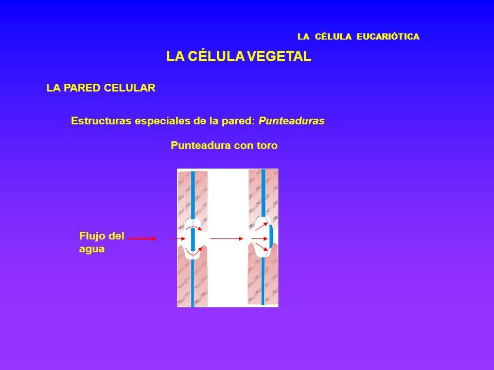 LA CÉLULA EUCARIÓTICA LA CÉLULA VEGETAL LA PARED CELULAR Estructuras especiales de la pared: Punteaduras Punteadura con toro Flujo del agua