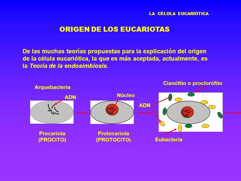 LA CÉLULA EUCARIÓTICA ORIGEN DE LOS EUCARIOTAS De las muchas teorías propuestas para la explicación del origen de la célula eucariótica, la que es más