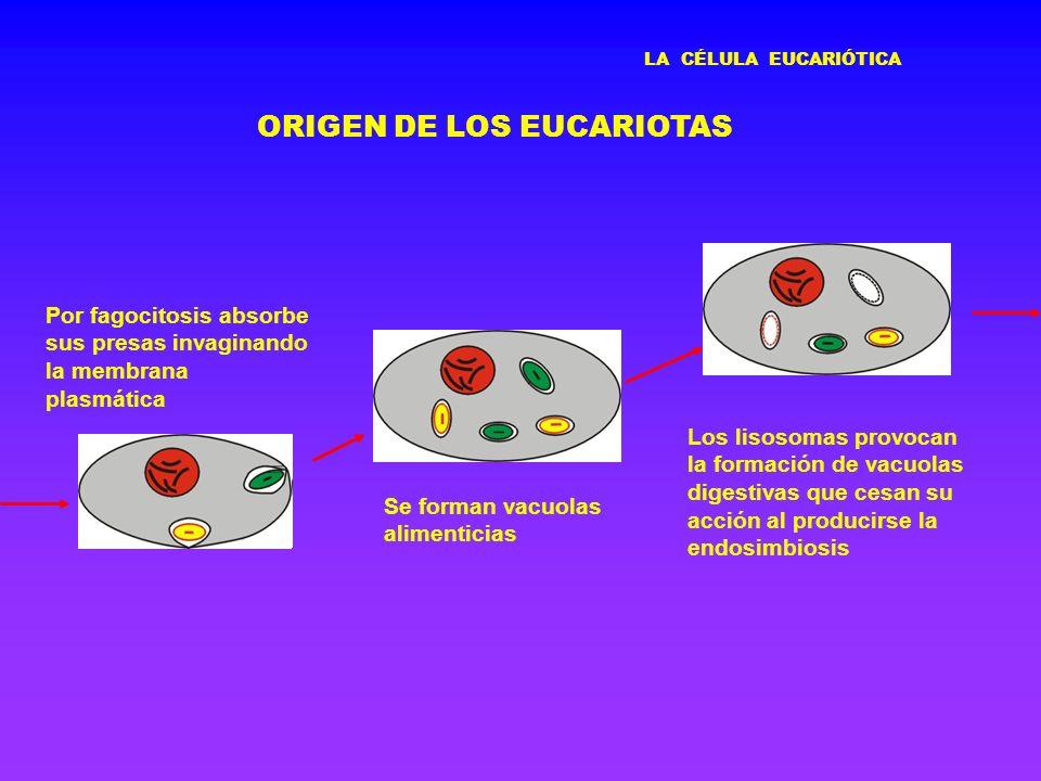 LA CÉLULA EUCARIÓTICA ORIGEN DE LOS EUCARIOTAS Por fagocitosis absorbe sus presas invaginando la membrana plasmática Se forman vacuolas alimenticias L