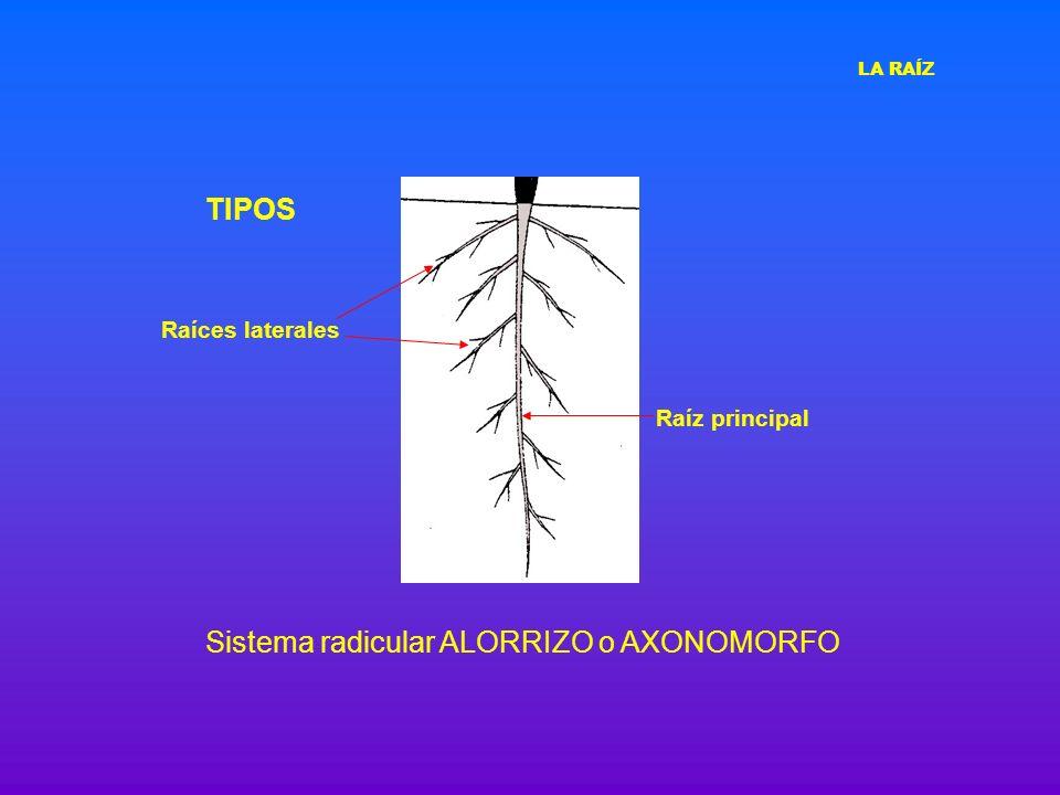 TIPOS Sistema radicular ALORRIZO o AXONOMORFO Raíz principal Raíces laterales LA RAÍZ