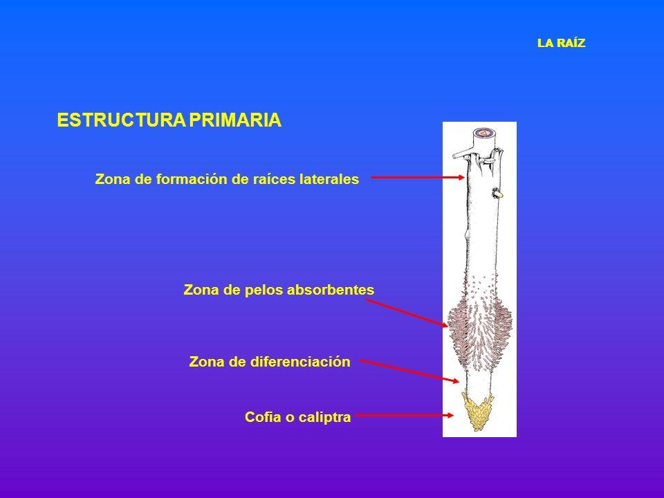 ESTRUCTURA PRIMARIA Cofia o caliptra Zona de pelos absorbentes Zona de diferenciación Zona de formación de raíces laterales LA RAÍZ