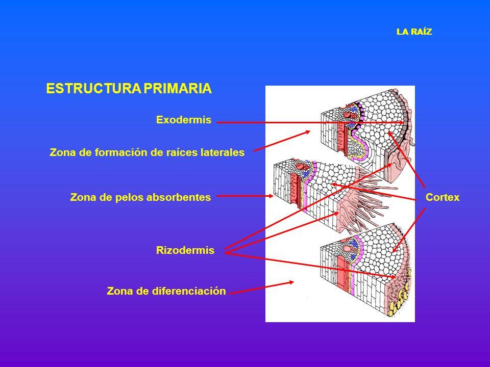 ESTRUCTURA PRIMARIA Zona de diferenciación Zona de pelos absorbentes Zona de formación de raíces laterales Rizodermis Cortex Exodermis LA RAÍZ