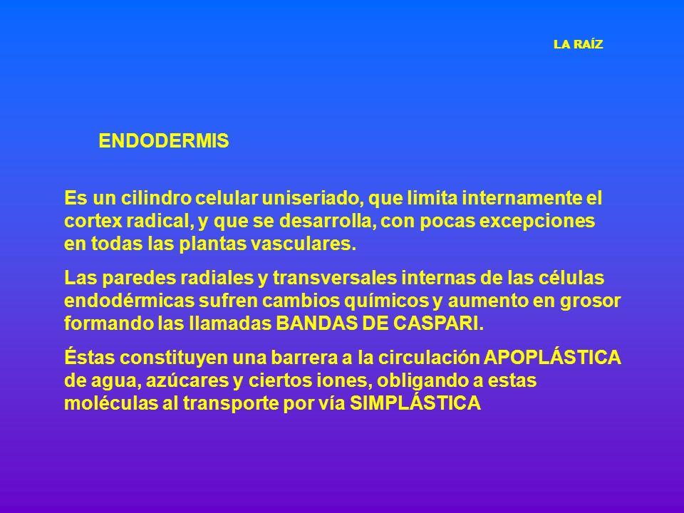 ENDODERMIS Es un cilindro celular uniseriado, que limita internamente el cortex radical, y que se desarrolla, con pocas excepciones en todas las plant