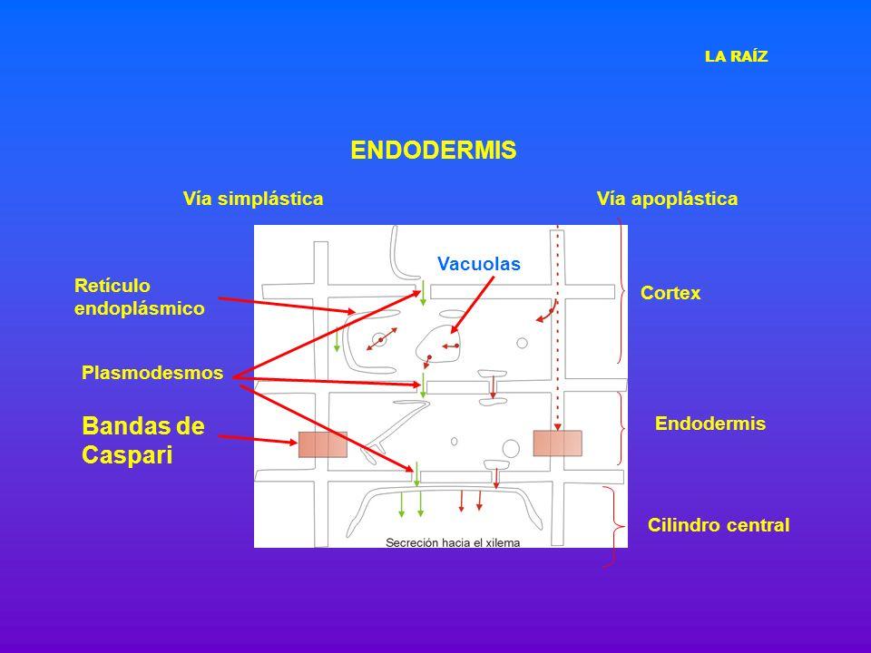 ENDODERMIS Vía apoplásticaVía simplástica Bandas de Caspari Retículo endoplásmico Vacuolas Cortex Cilindro central Endodermis Plasmodesmos LA RAÍZ
