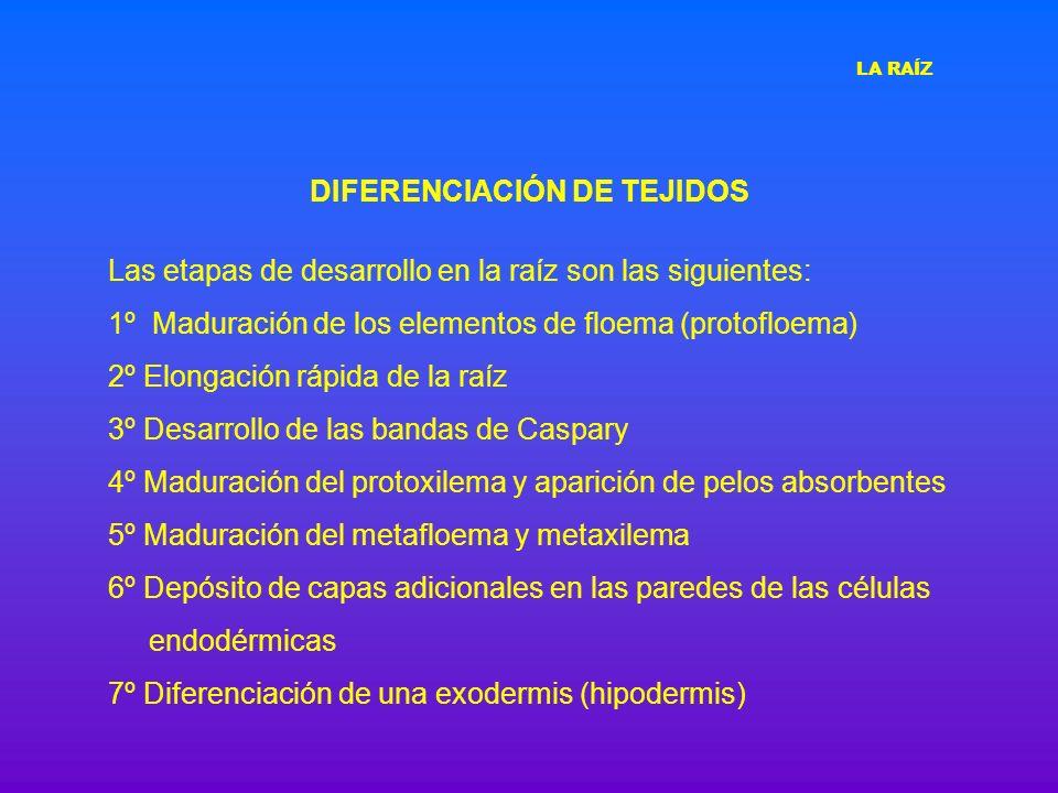 DIFERENCIACIÓN DE TEJIDOS Las etapas de desarrollo en la raíz son las siguientes: 1º Maduración de los elementos de floema (protofloema) 2º Elongación