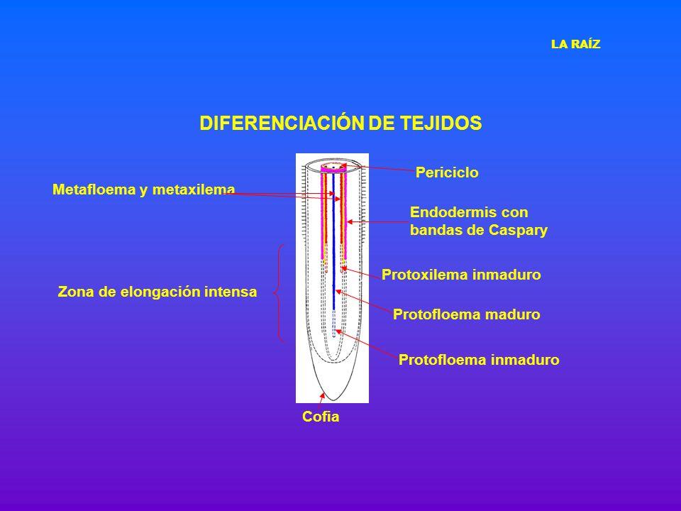 DIFERENCIACIÓN DE TEJIDOS Cofia Protofloema inmaduro Protofloema maduro Protoxilema inmaduro Zona de elongación intensa Endodermis con bandas de Caspa