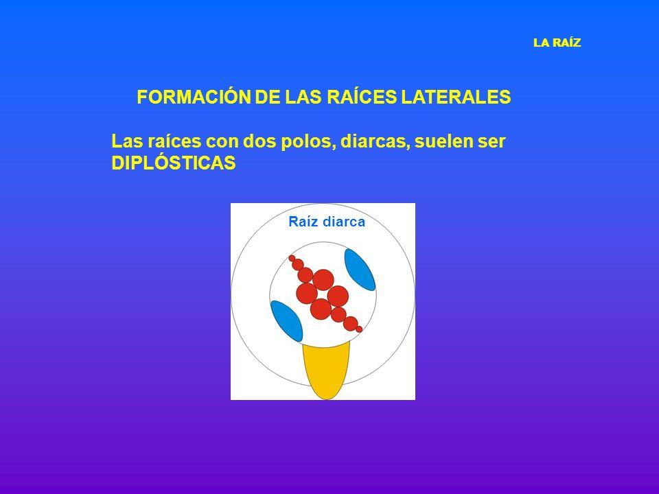 Las raíces con dos polos, diarcas, suelen ser DIPLÓSTICAS Raíz diarca FORMACIÓN DE LAS RAÍCES LATERALES LA RAÍZ