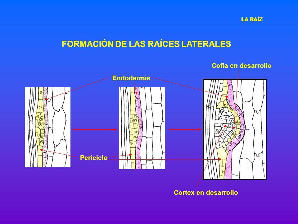 FORMACIÓN DE LAS RAÍCES LATERALES Periciclo Endodermis Cofia en desarrollo Cortex en desarrollo LA RAÍZ