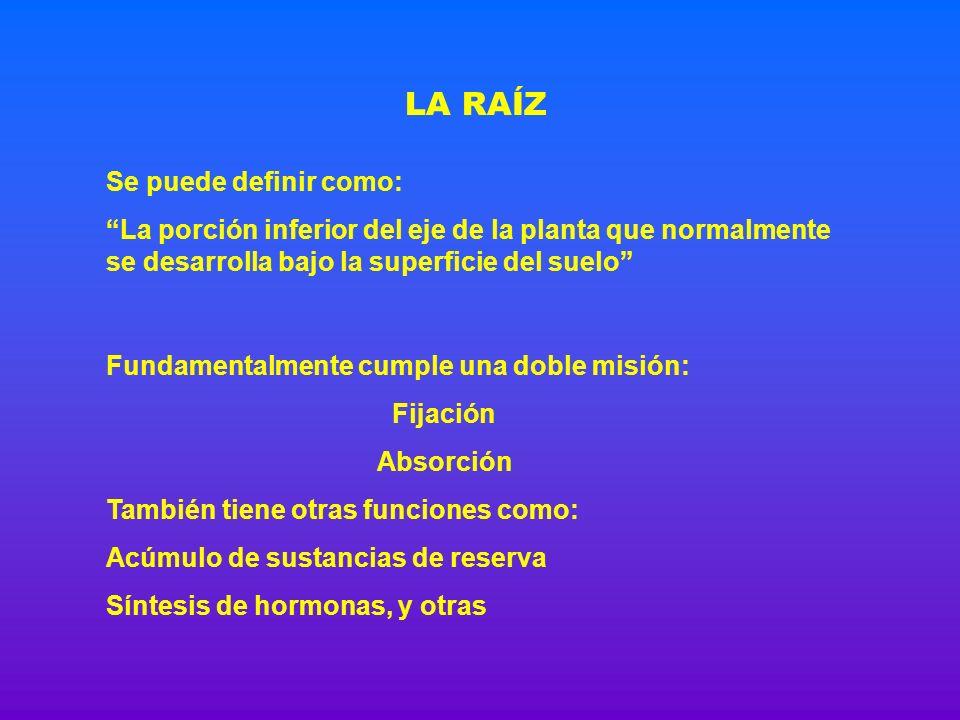 ESTRUCTURA PRIMARIA Endodermis Periciclo Xilema Floema LA RAÍZ