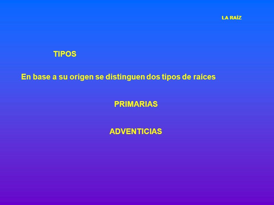 TIPOS Se desarrollan a partir del ápice radical del embrión o del periciclo de la raíz Las PRIMARIAS son las embrionarias y las laterales que salen de ella.