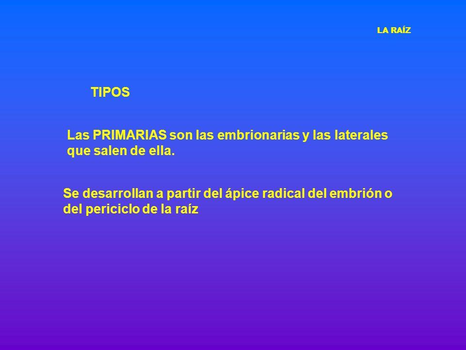 TIPOS Se desarrollan a partir del ápice radical del embrión o del periciclo de la raíz Las PRIMARIAS son las embrionarias y las laterales que salen de