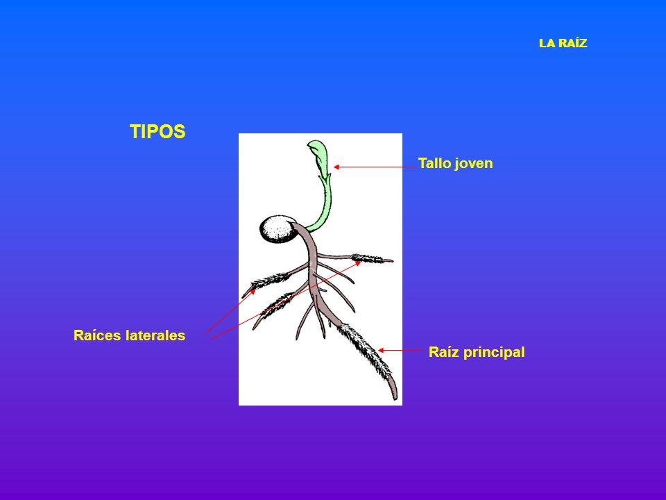 TIPOS Como pueden ser el cuerpo primario o secundario de los tallos o las hojas Las ADVENTICIAS se desarrollan a partir de otros tejidos de las raíces maduras o de otras partes del vegetal LA RAÍZ