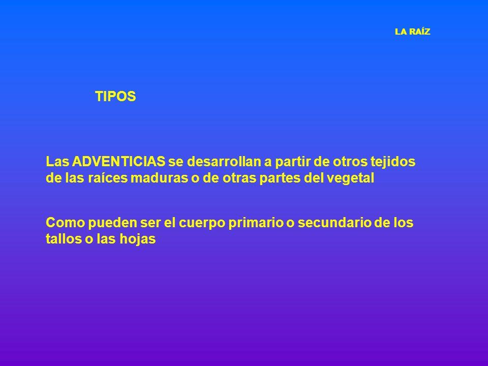 TIPOS Raíz primaria Raíces adventicias Entrenudos del tallo LA RAÍZ