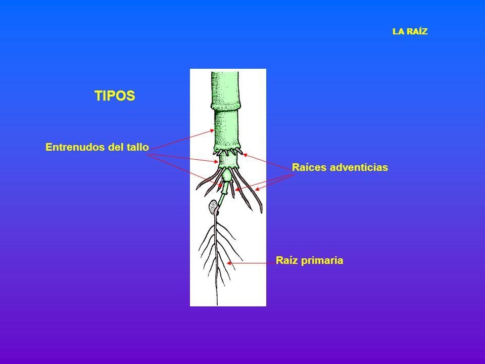 DIFERENCIACIÓN DE TEJIDOS Cofia Protofloema inmaduro Protofloema maduro Protoxilema inmaduro Zona de elongación intensa Endodermis con bandas de Caspary Metafloema y metaxilema Periciclo LA RAÍZ