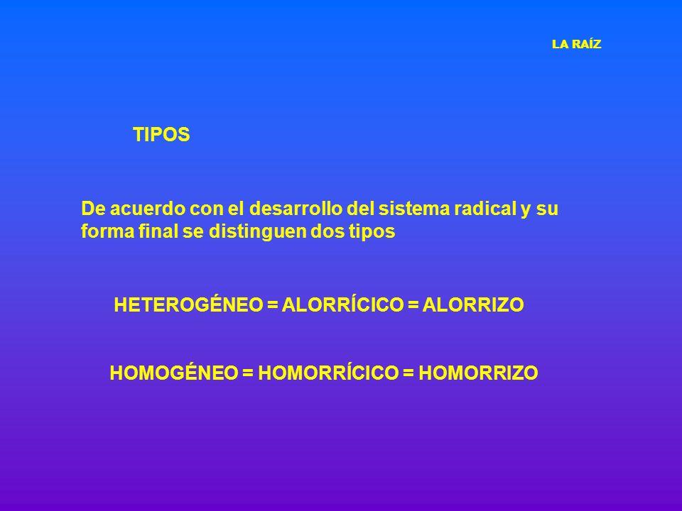 TIPOS HETEROGÉNEO = ALORRÍCICO = ALORRIZO HOMOGÉNEO = HOMORRÍCICO = HOMORRIZO De acuerdo con el desarrollo del sistema radical y su forma final se dis
