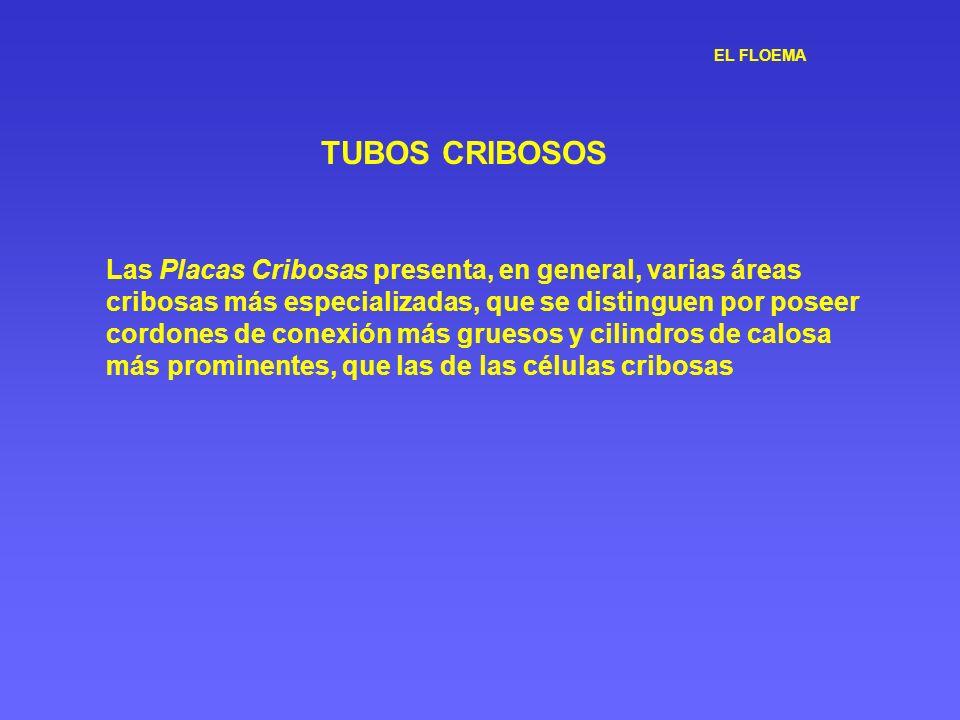 EL FLOEMA TUBOS CRIBOSOS Las Placas Cribosas presenta, en general, varias áreas cribosas más especializadas, que se distinguen por poseer cordones de