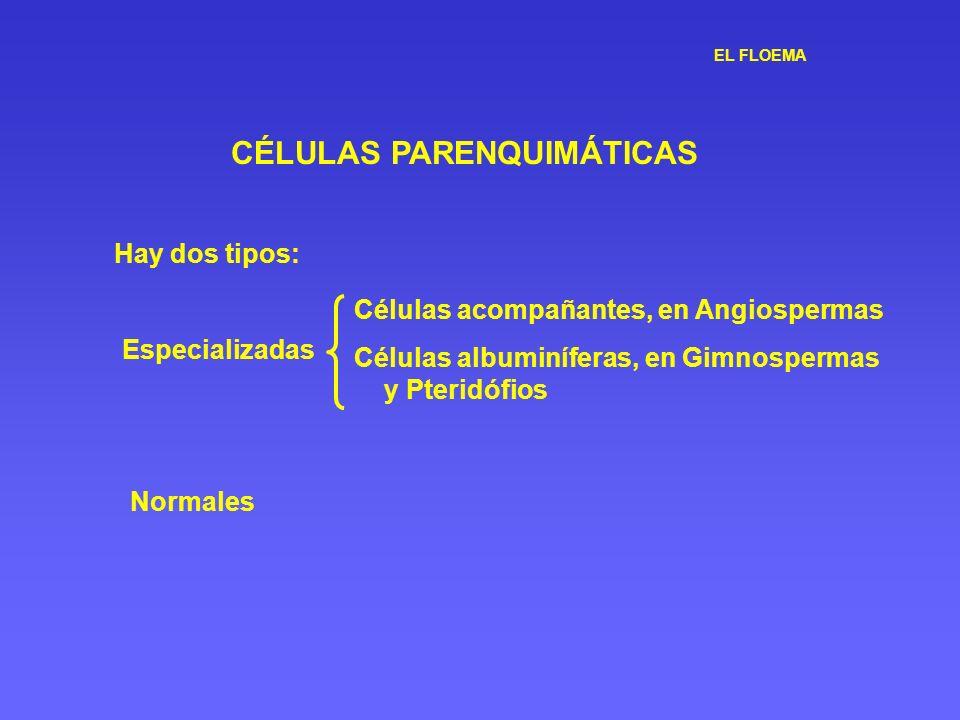 EL FLOEMA CÉLULAS PARENQUIMÁTICAS Hay dos tipos: Especializadas Células acompañantes, en Angiospermas Células albuminíferas, en Gimnospermas y Pteridó