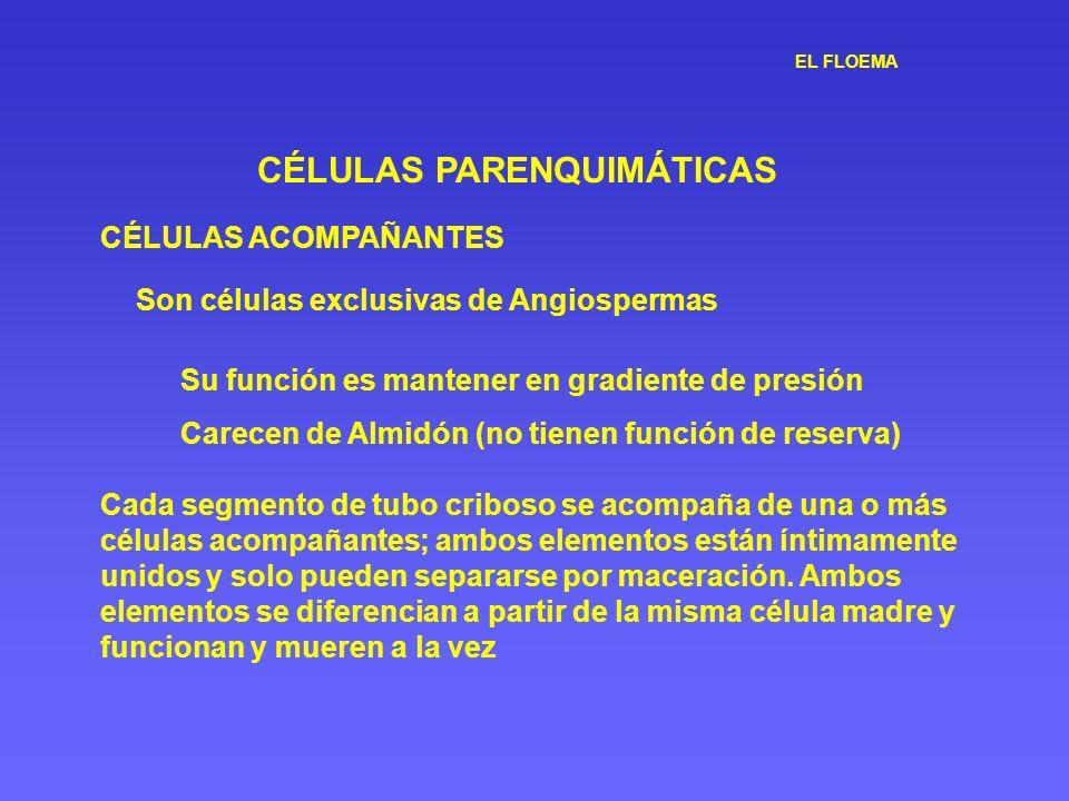 EL FLOEMA CÉLULAS PARENQUIMÁTICAS CÉLULAS ACOMPAÑANTES Su función es mantener en gradiente de presión Carecen de Almidón (no tienen función de reserva
