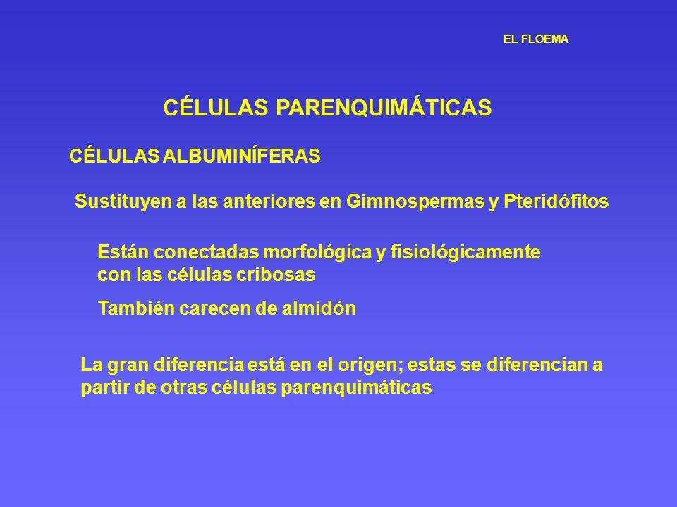 EL FLOEMA CÉLULAS PARENQUIMÁTICAS CÉLULAS ALBUMINÍFERAS Sustituyen a las anteriores en Gimnospermas y Pteridófitos Están conectadas morfológica y fisi