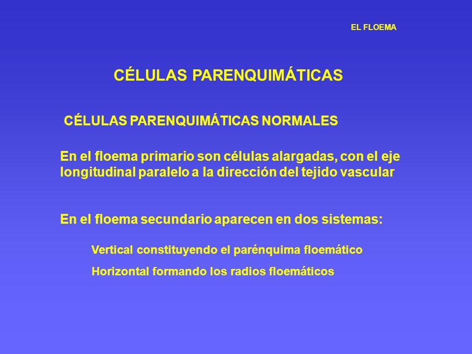 EL FLOEMA CÉLULAS PARENQUIMÁTICAS CÉLULAS PARENQUIMÁTICAS NORMALES En el floema primario son células alargadas, con el eje longitudinal paralelo a la