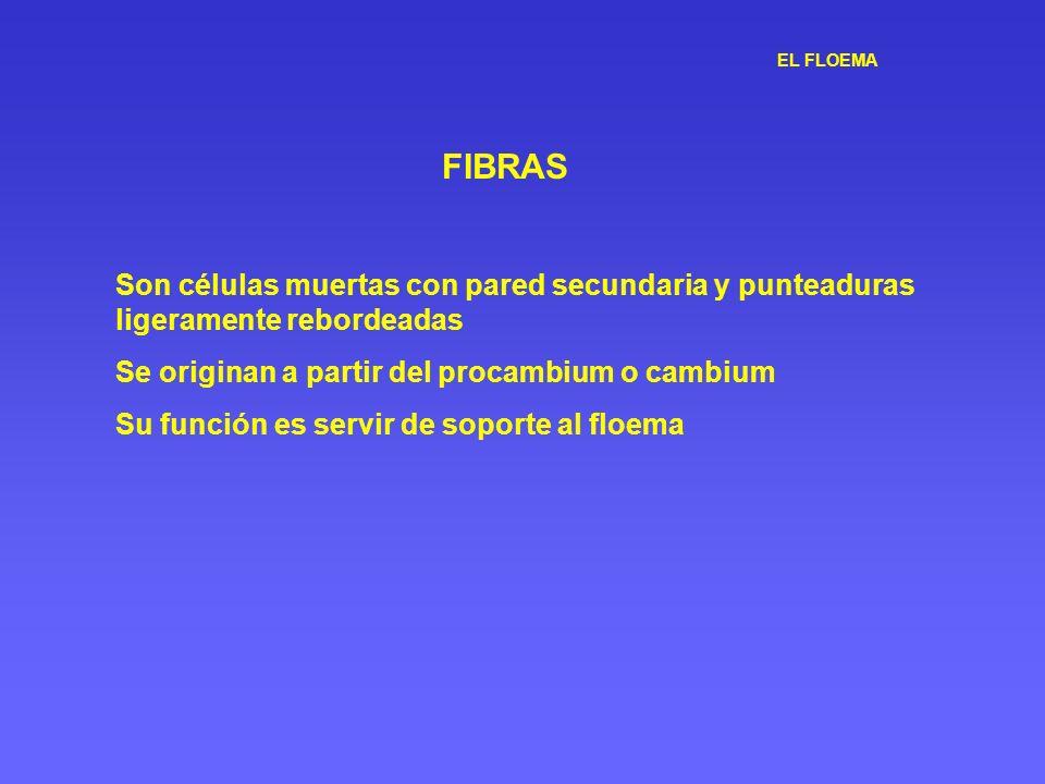 EL FLOEMA FIBRAS Son células muertas con pared secundaria y punteaduras ligeramente rebordeadas Se originan a partir del procambium o cambium Su funci