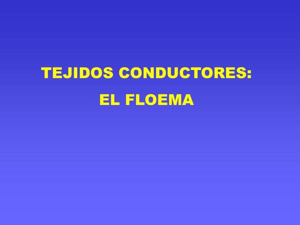 TEJIDOS CONDUCTORES: EL FLOEMA