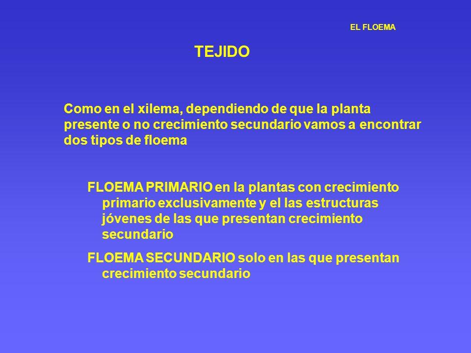 EL FLOEMA TEJIDO Como en el xilema, dependiendo de que la planta presente o no crecimiento secundario vamos a encontrar dos tipos de floema FLOEMA PRI