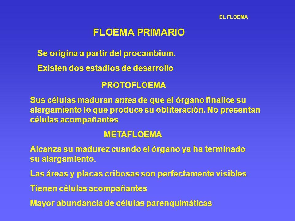 EL FLOEMA FLOEMA PRIMARIO Se origina a partir del procambium. Existen dos estadios de desarrollo PROTOFLOEMA Sus células maduran antes de que el órgan