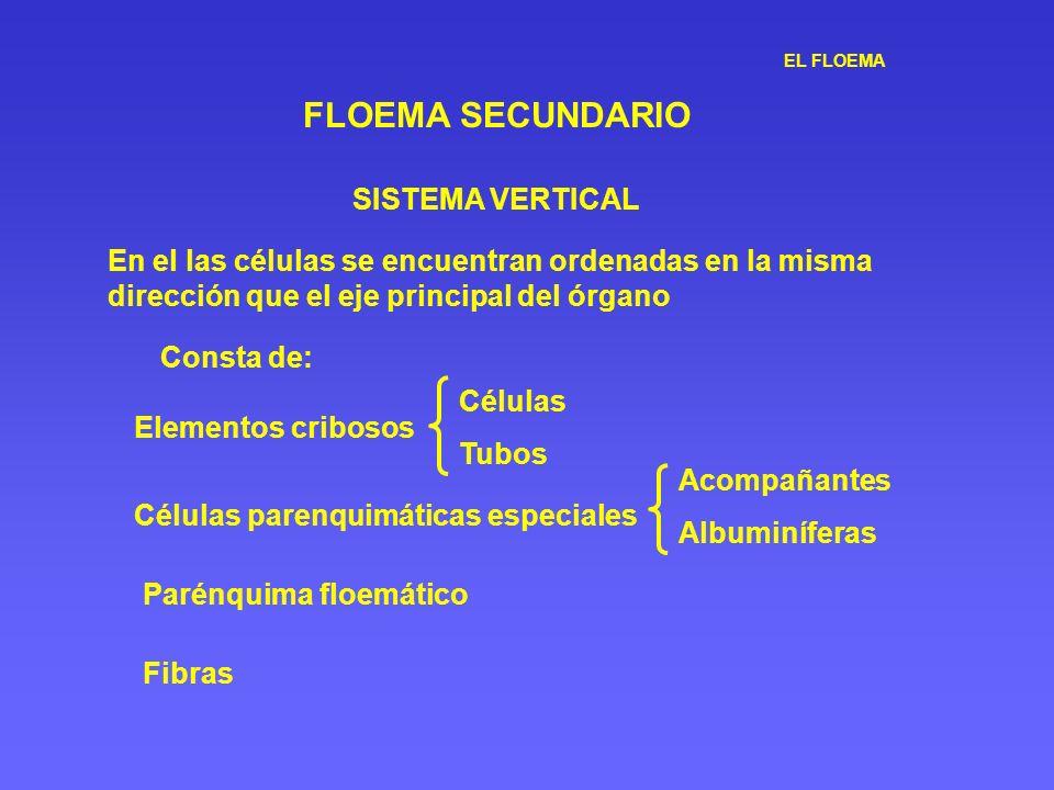 EL FLOEMA FLOEMA SECUNDARIO SISTEMA VERTICAL En el las células se encuentran ordenadas en la misma dirección que el eje principal del órgano Consta de