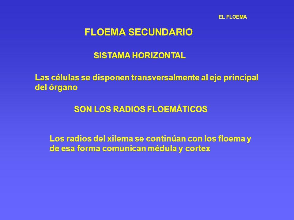EL FLOEMA FLOEMA SECUNDARIO SISTAMA HORIZONTAL Las células se disponen transversalmente al eje principal del órgano SON LOS RADIOS FLOEMÁTICOS Los rad