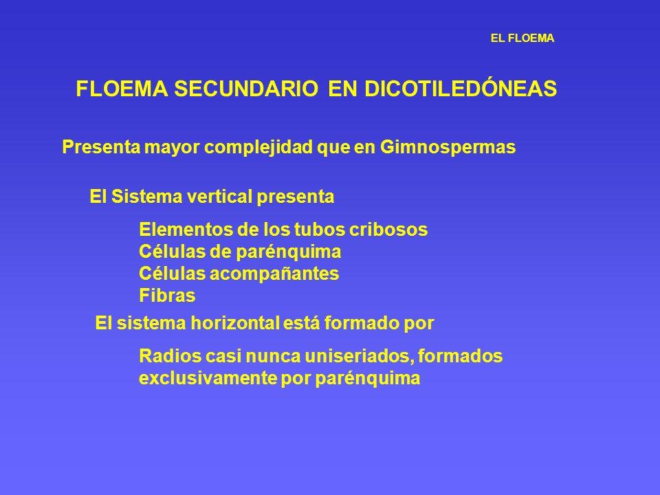 EL FLOEMA FLOEMA SECUNDARIO EN DICOTILEDÓNEAS Presenta mayor complejidad que en Gimnospermas El Sistema vertical presenta Elementos de los tubos cribo