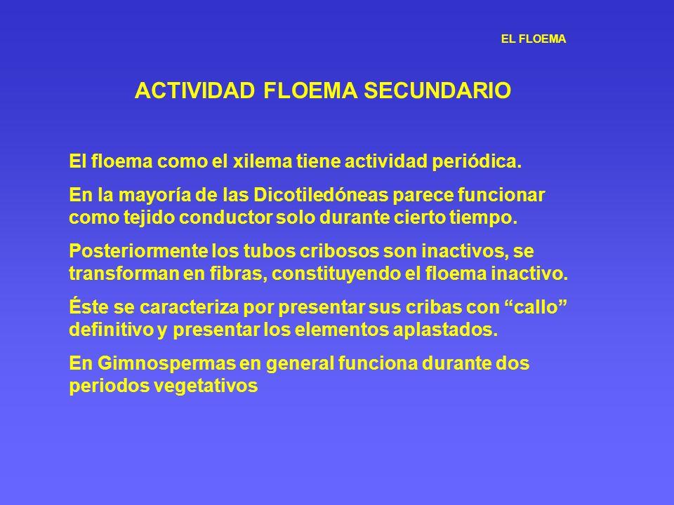 EL FLOEMA ACTIVIDAD FLOEMA SECUNDARIO El floema como el xilema tiene actividad periódica. En la mayoría de las Dicotiledóneas parece funcionar como te