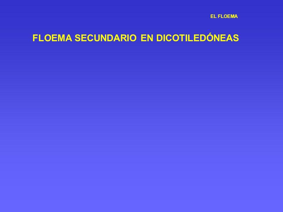 EL FLOEMA FLOEMA SECUNDARIO EN DICOTILEDÓNEAS