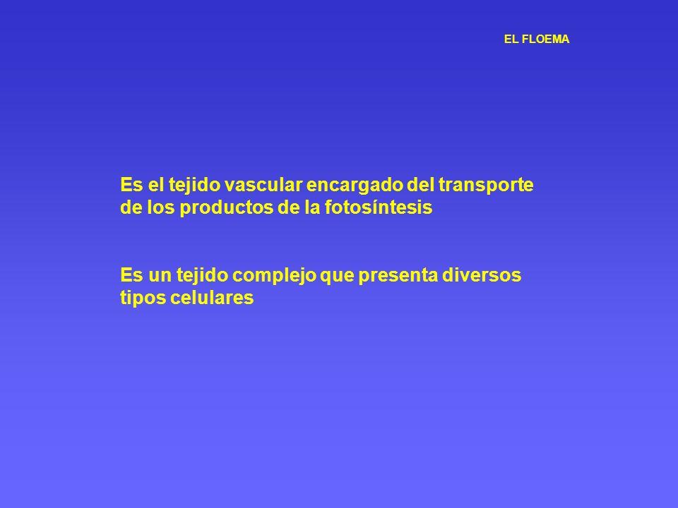 Es el tejido vascular encargado del transporte de los productos de la fotosíntesis Es un tejido complejo que presenta diversos tipos celulares