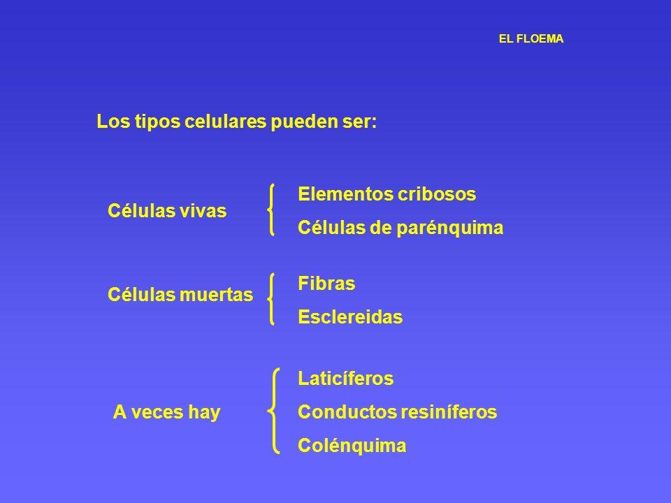 EL FLOEMA Los tipos celulares pueden ser: Células vivas Elementos cribosos Células de parénquima Células muertas Fibras Esclereidas A veces hay Laticí