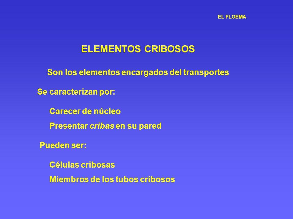ELEMENTOS CRIBOSOS Carecer de núcleo Presentar cribas en su pared Se caracterizan por: Son los elementos encargados del transportes Pueden ser: Célula