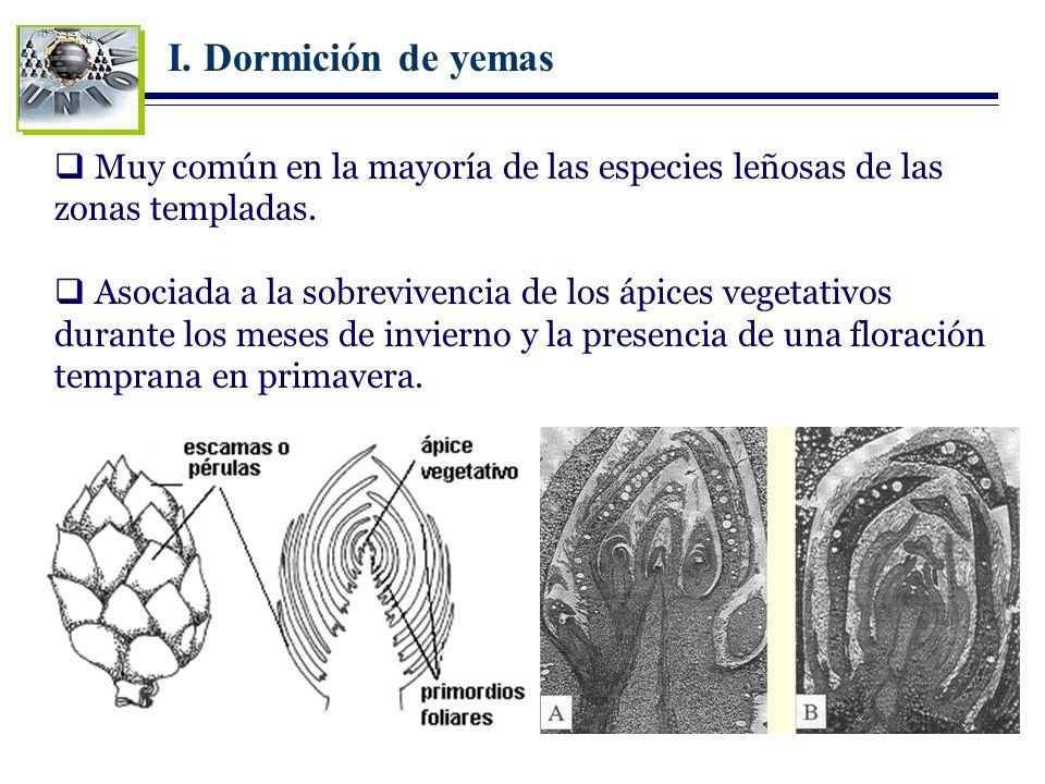 I. Dormición de yemas Muy común en la mayoría de las especies leñosas de las zonas templadas. Asociada a la sobrevivencia de los ápices vegetativos du