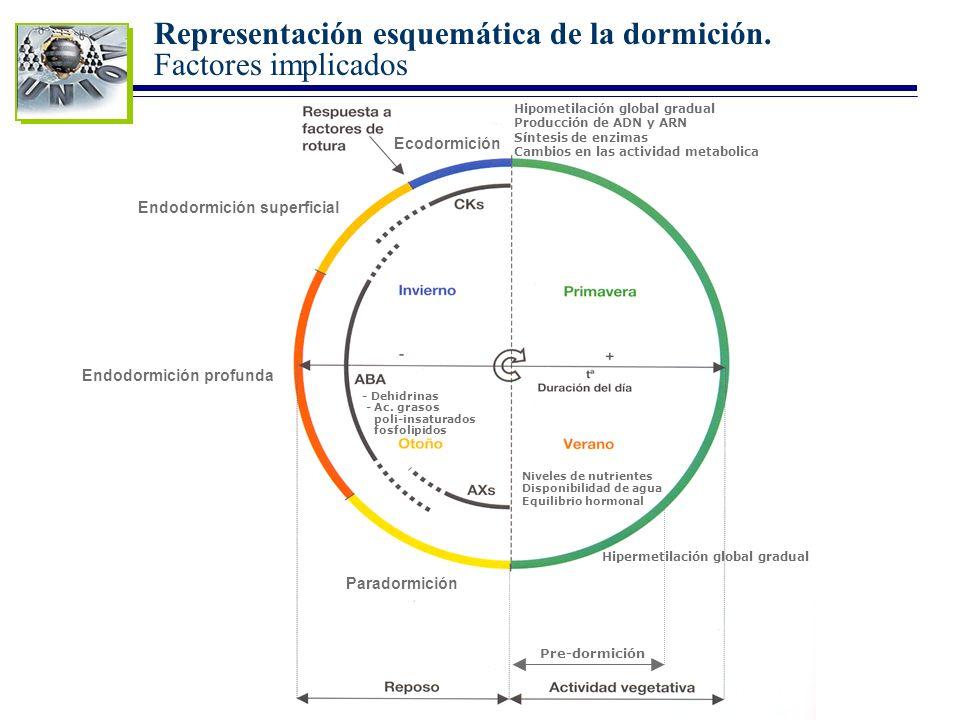 Representación esquemática de la dormición. Factores implicados Paradormición Endodormición profunda Endodormición superficial Ecodormición Niveles de