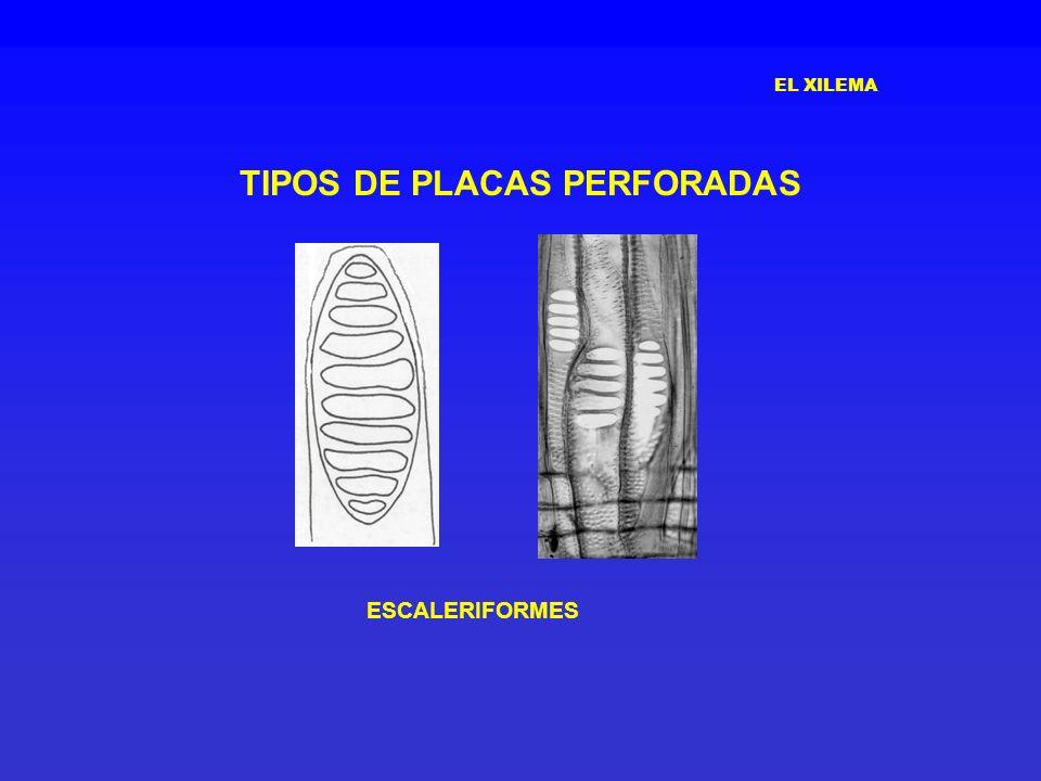 EL XILEMA TIPOS DE PLACAS PERFORADAS ESCALERIFORMES