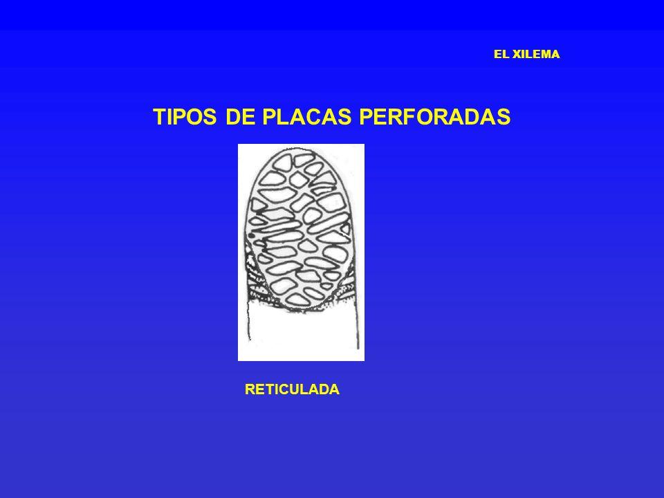 EL XILEMA TIPOS DE PLACAS PERFORADAS RETICULADA
