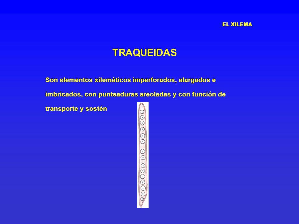 EL XILEMA TRAQUEIDAS Son elementos xilemáticos imperforados, alargados e imbricados, con punteaduras areoladas y con función de transporte y sostén