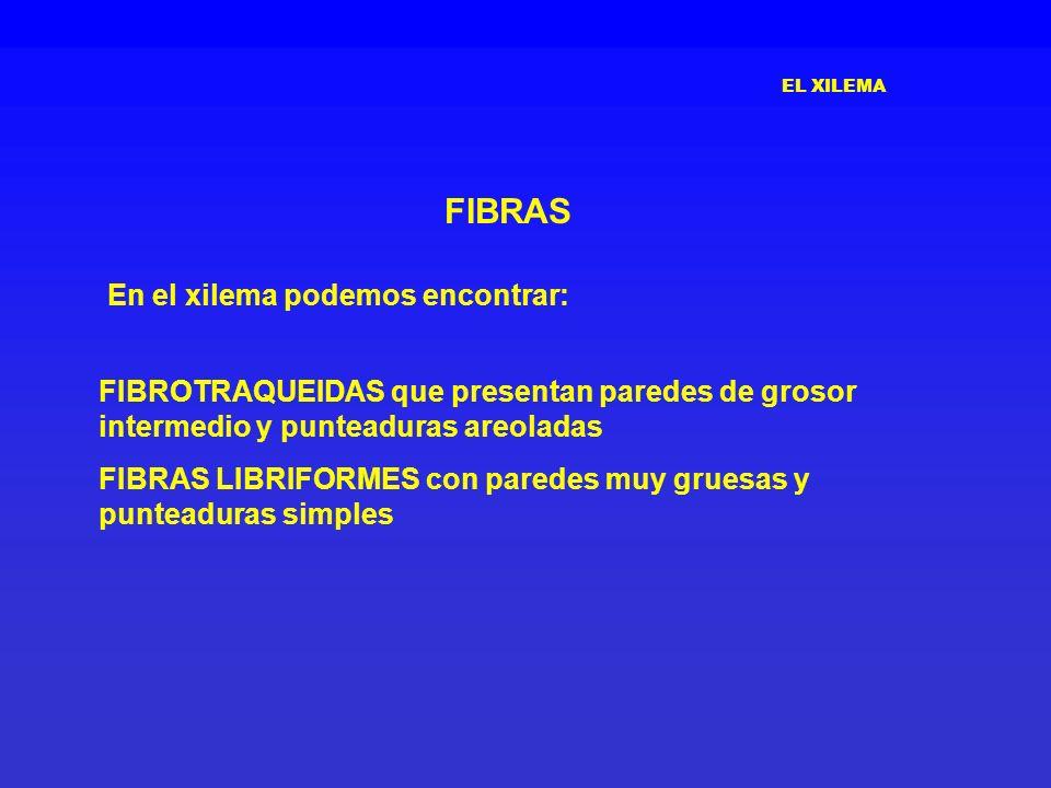 EL XILEMA FIBRAS FIBROTRAQUEIDAS que presentan paredes de grosor intermedio y punteaduras areoladas FIBRAS LIBRIFORMES con paredes muy gruesas y punte