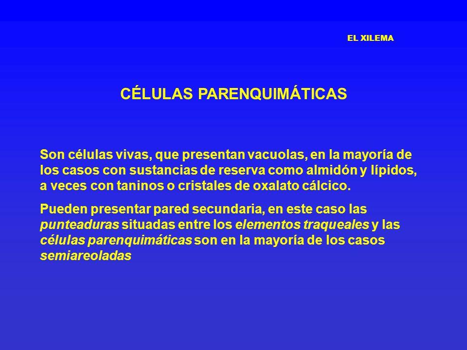 EL XILEMA CÉLULAS PARENQUIMÁTICAS Son células vivas, que presentan vacuolas, en la mayoría de los casos con sustancias de reserva como almidón y lípid