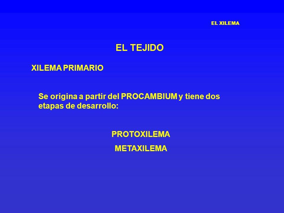 EL XILEMA EL TEJIDO XILEMA PRIMARIO Se origina a partir del PROCAMBIUM y tiene dos etapas de desarrollo: PROTOXILEMA METAXILEMA