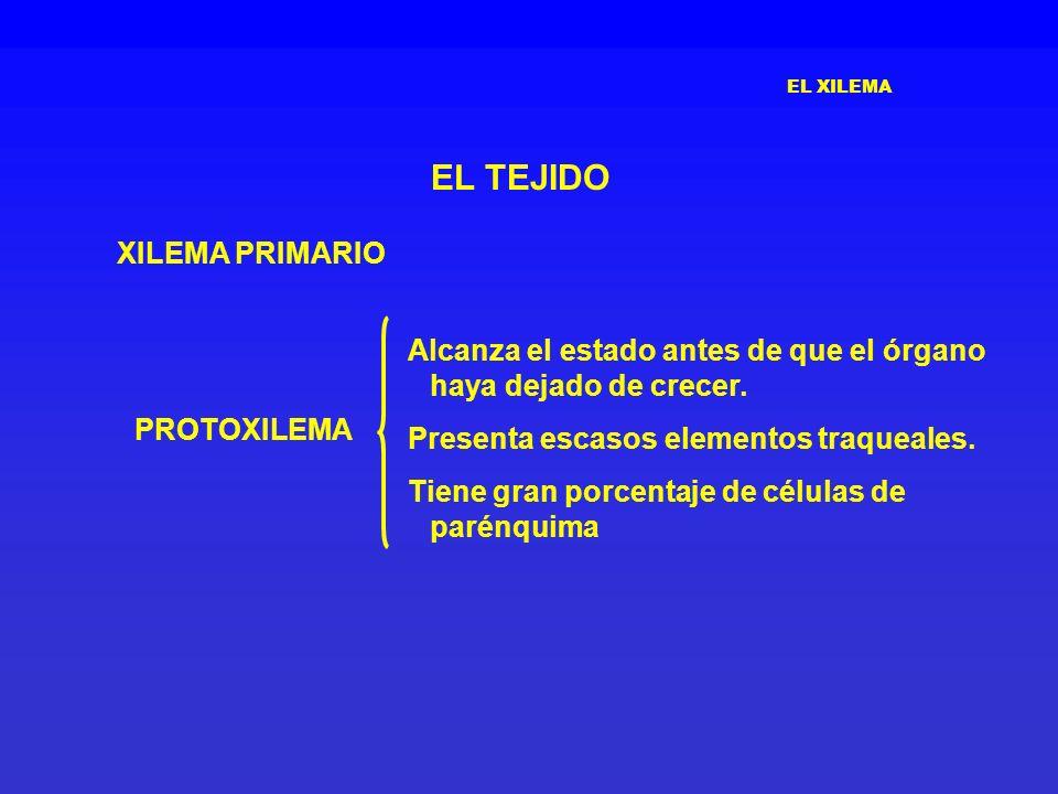 EL XILEMA EL TEJIDO XILEMA PRIMARIO PROTOXILEMA Alcanza el estado antes de que el órgano haya dejado de crecer. Presenta escasos elementos traqueales.