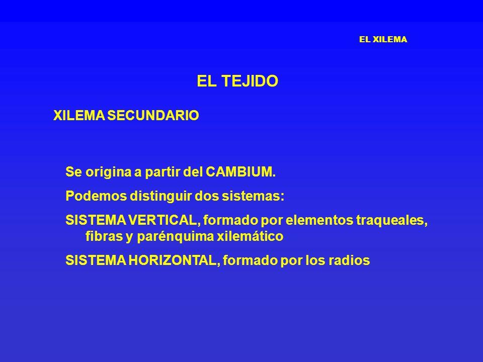 EL XILEMA EL TEJIDO XILEMA SECUNDARIO Se origina a partir del CAMBIUM. Podemos distinguir dos sistemas: SISTEMA VERTICAL, formado por elementos traque